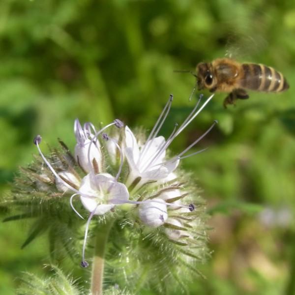 Biene Anflug Blüte pollen bestäubung frombee