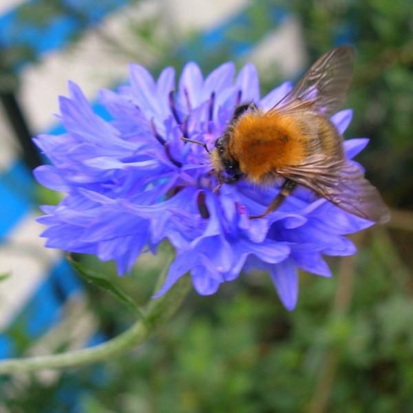 Biene auf Blume bestäubung pollen honig frombee