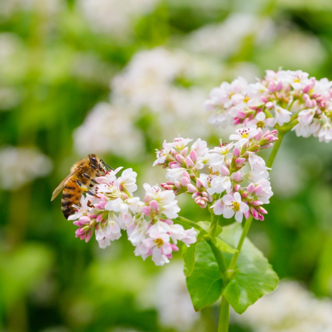 Frombee Buchweizen Biene Blüte Honig